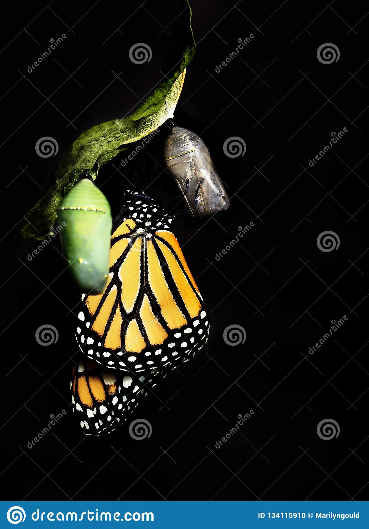 Monarch Butterfly Clinging to Empty Chrysalis