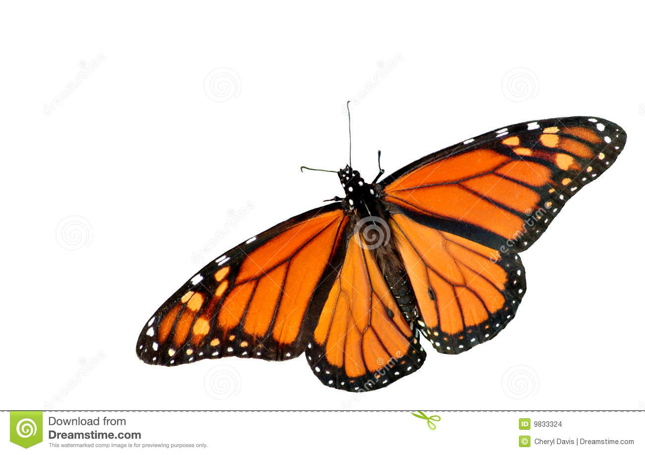 cutout of a beautiful Monarch Butterfly on a white background with ...