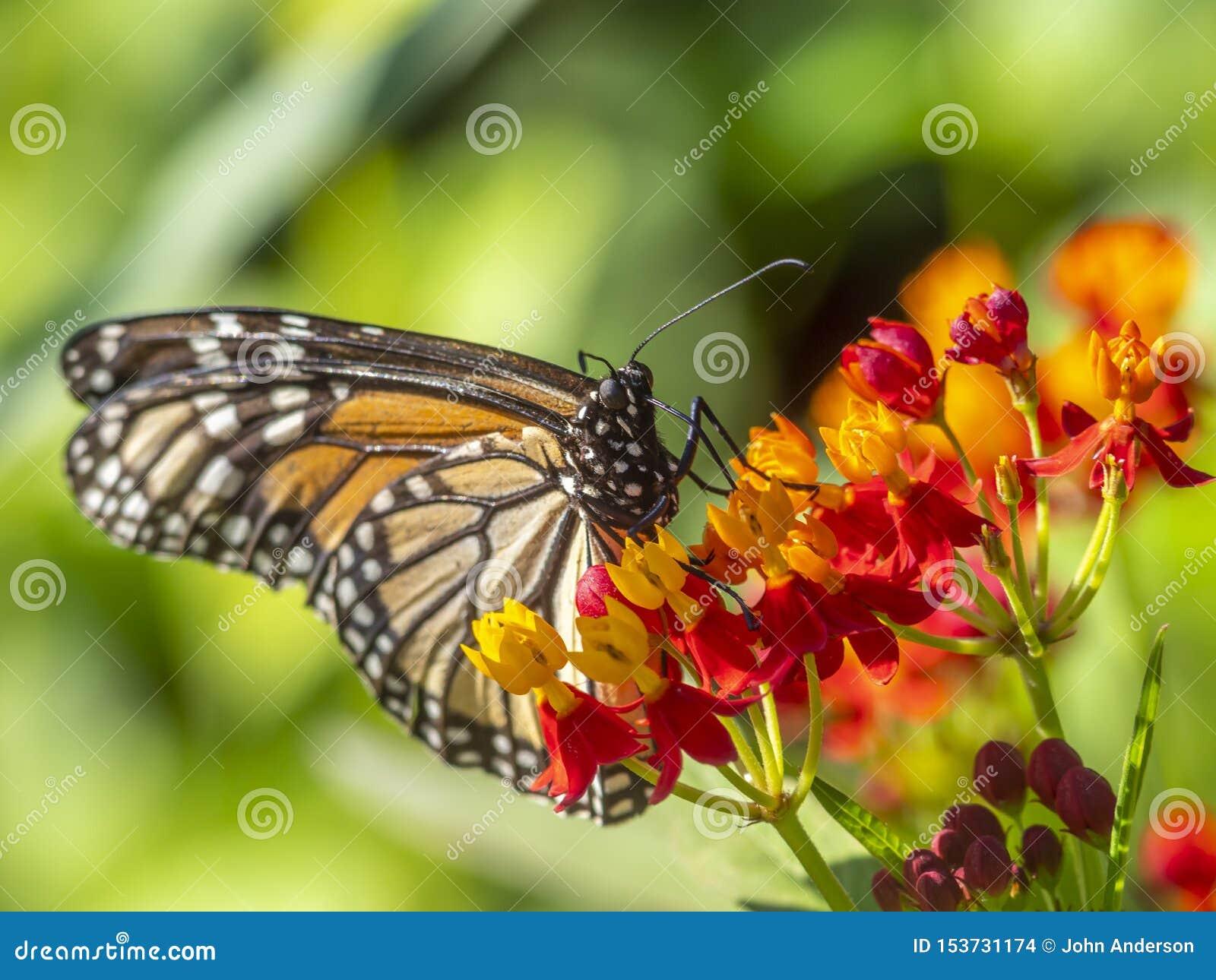Monarch butterfly,Danaus plexippus