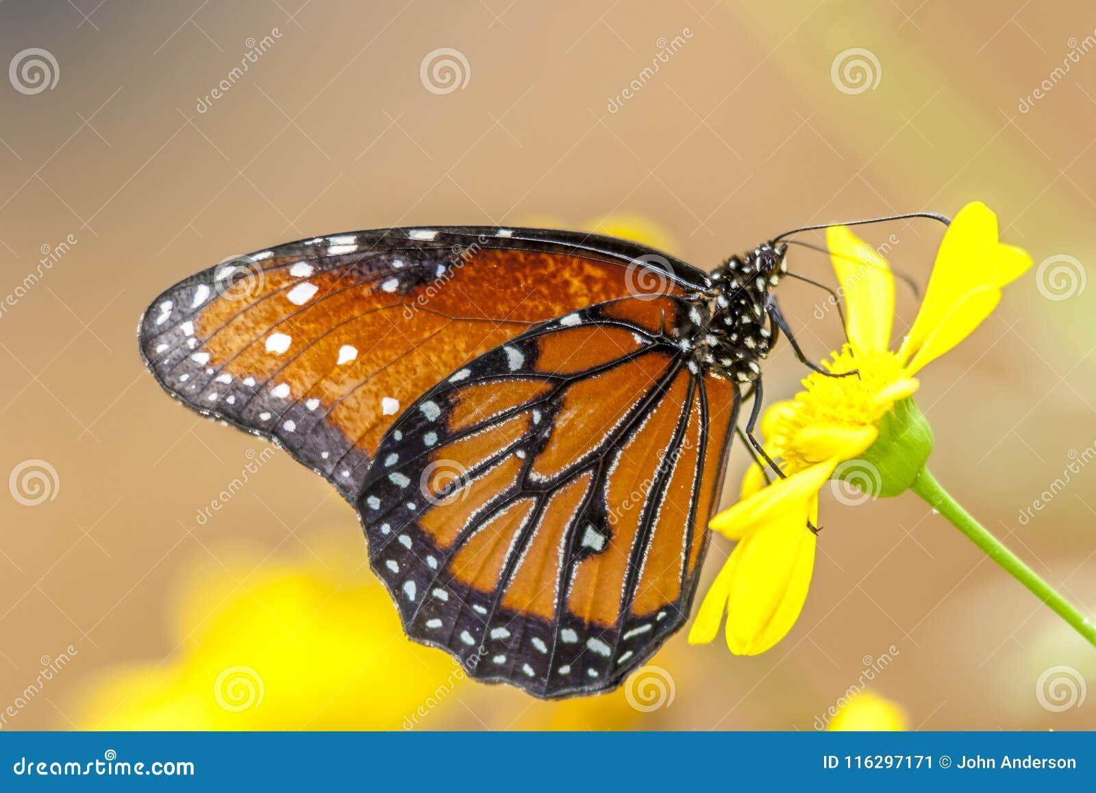 Monarch butterfly ,Danaus plexippus