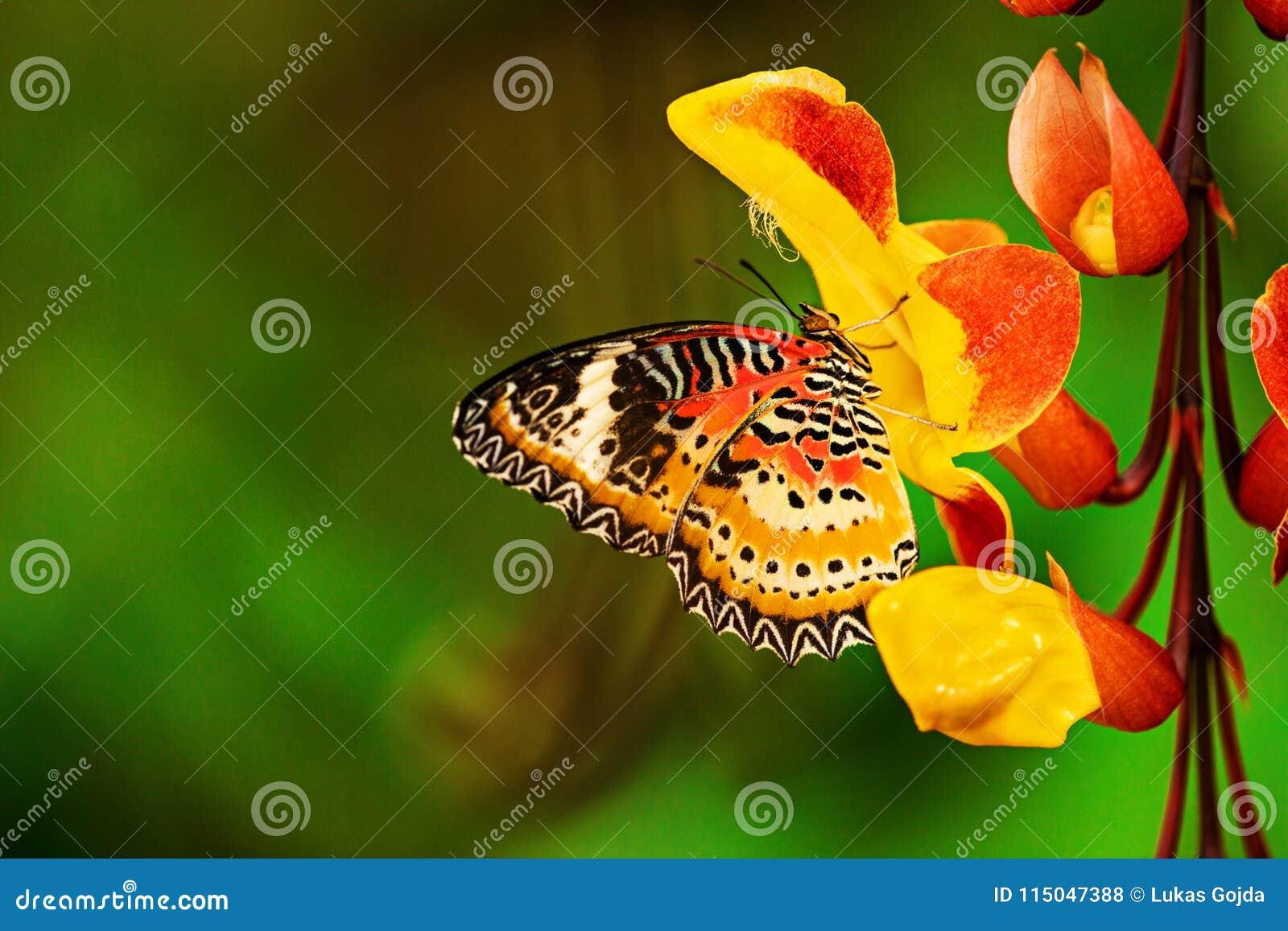 Monarch butterfly Danaus plexippus on thunbergia mysorensis.
