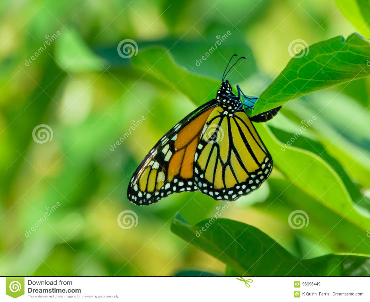Monarch butterfly depositing and egg on milkweed leaf