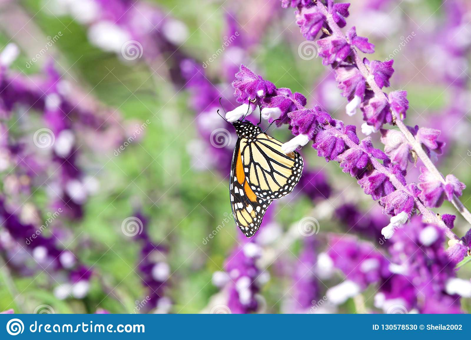 Monarch Butterfly drinking from Mexican Sage