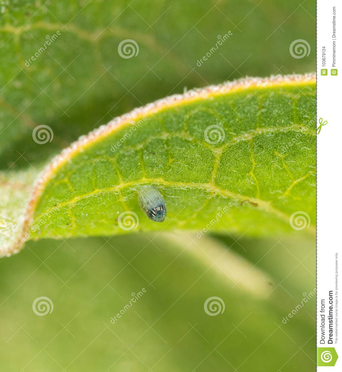 Monarch butterfly egg attached to a Milkweed leaf