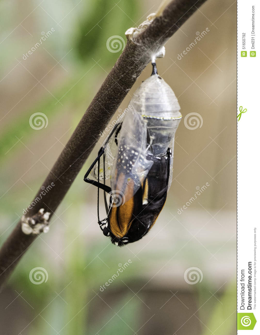 monarch butterfly exiting chrysalis stock photo image 51650792