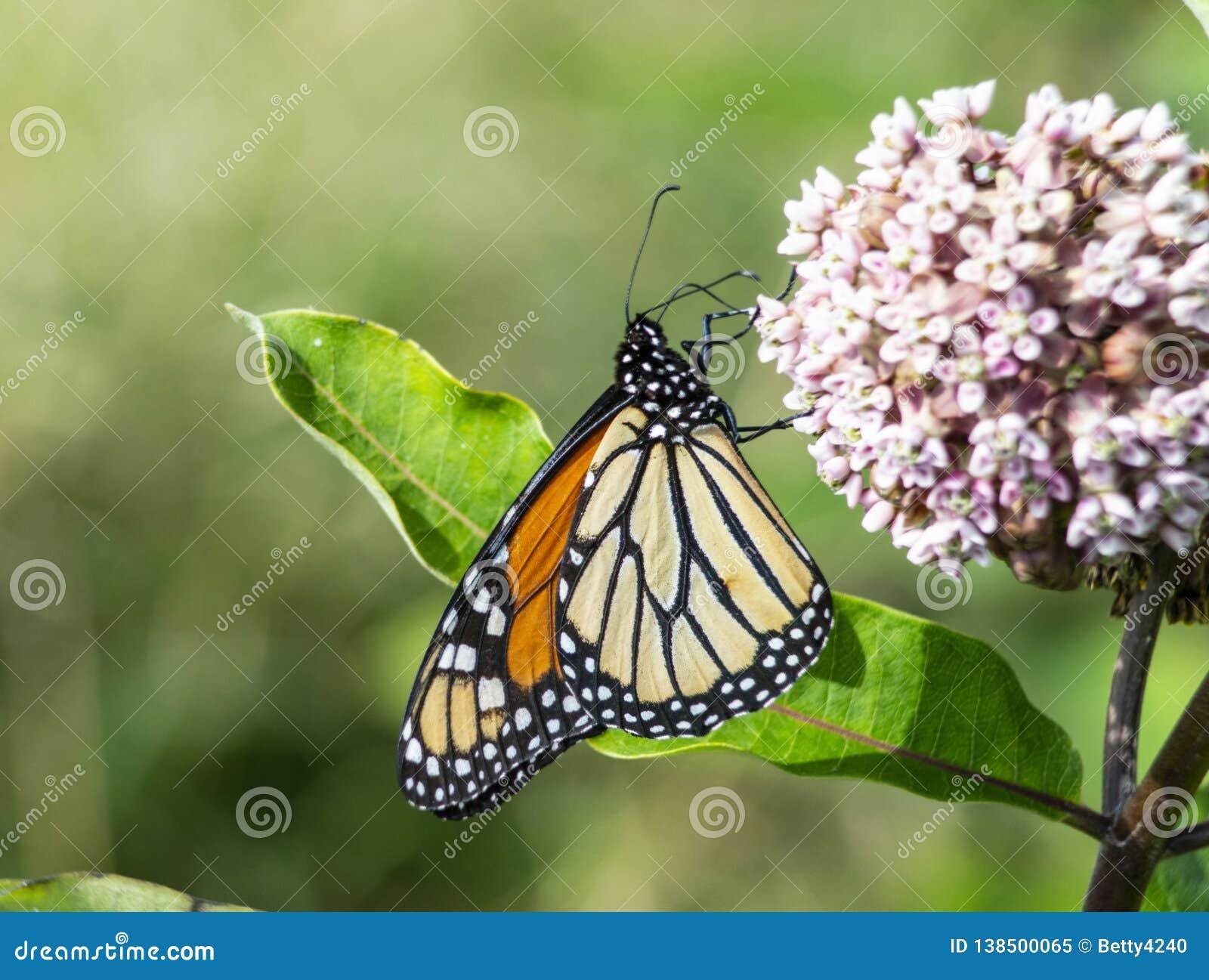 Monarch Butterfly feeding on Milkweed blooms.