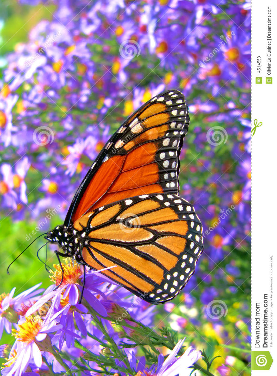 Monarch Butterfly Feeding on Purple Flowers Pollen