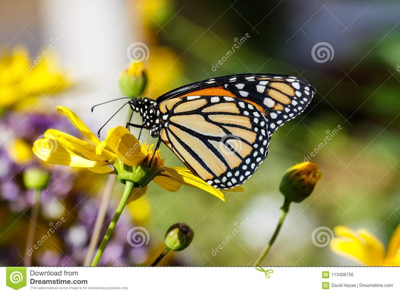 Monarch butterfly on bright yellow flower