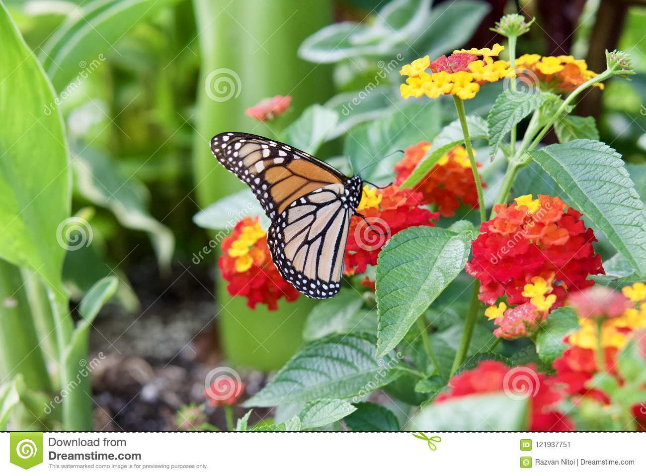 Monarch Butterfly On A Flower In The Park Stock Image
