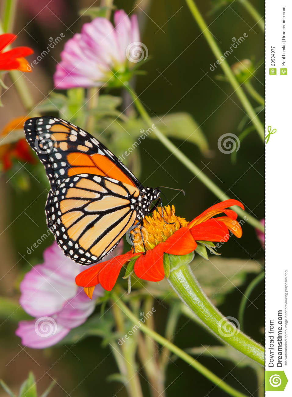 Monarch Butterfly Royalty Free Stock Photography Image