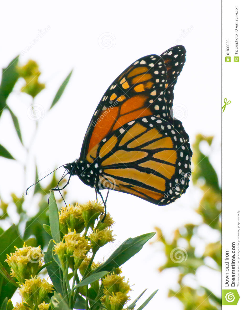 Free picture: insect, Monarch, butterfly, yellow flower
