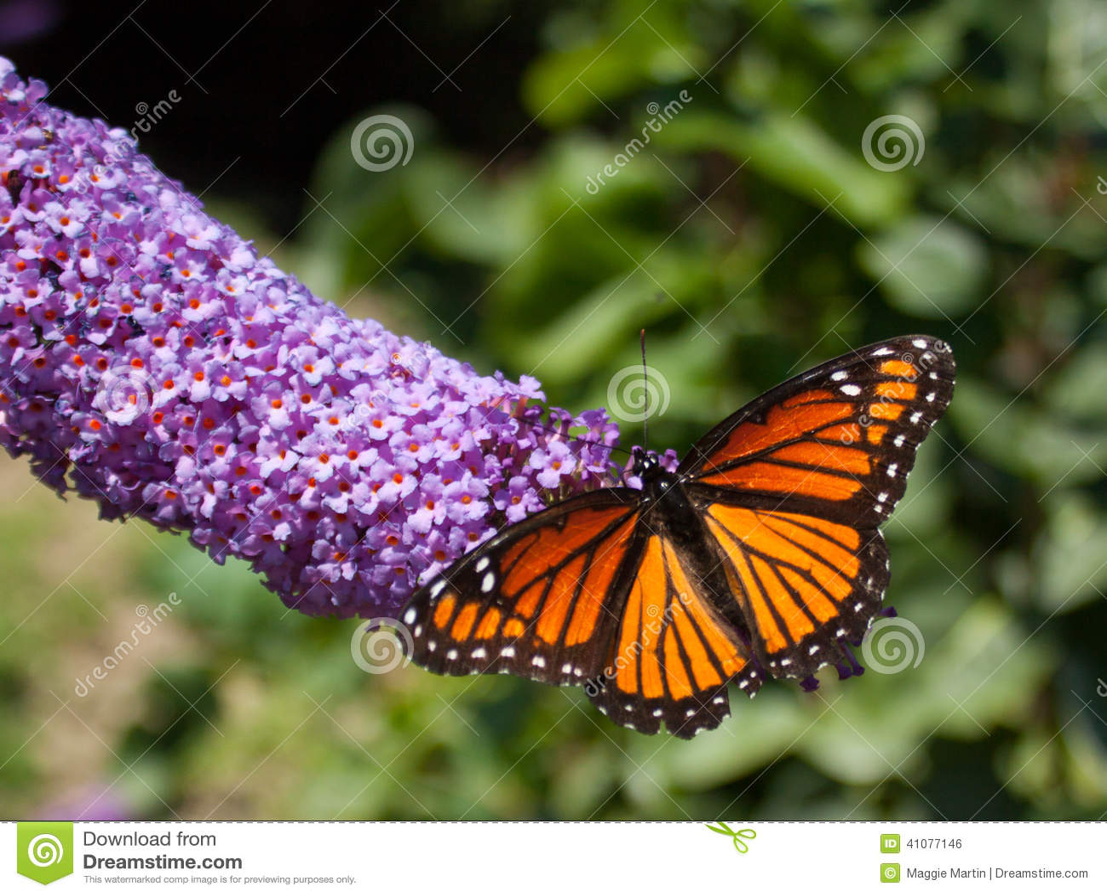 Monarch Butterfly Landscape Stock Photo Image 41077146