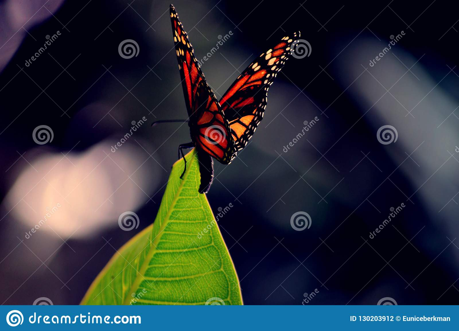 Monarch butterfly on a leaf