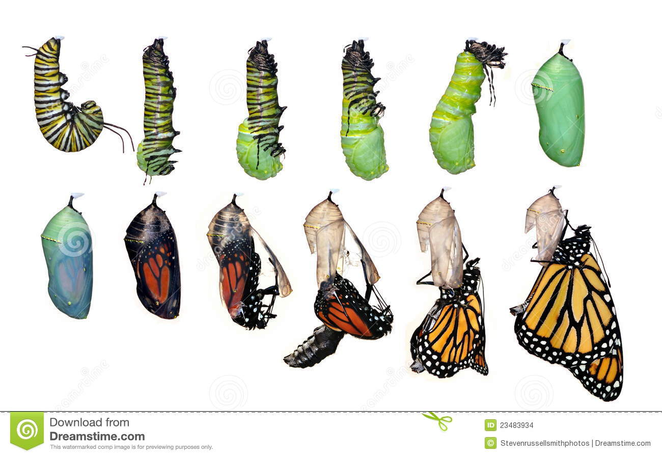 Monarch Butterfly Life Cycle (Danaus Plexippus) Stock Images - Image ...