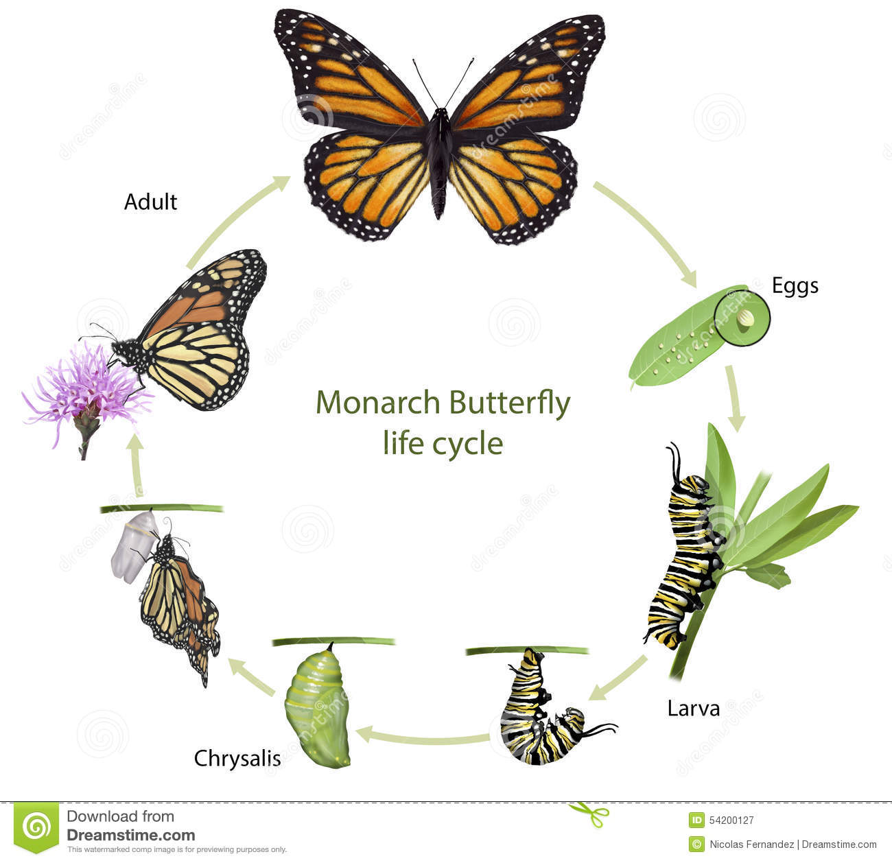 Butterfly Life Cycle / Butterfly Metamorphosis