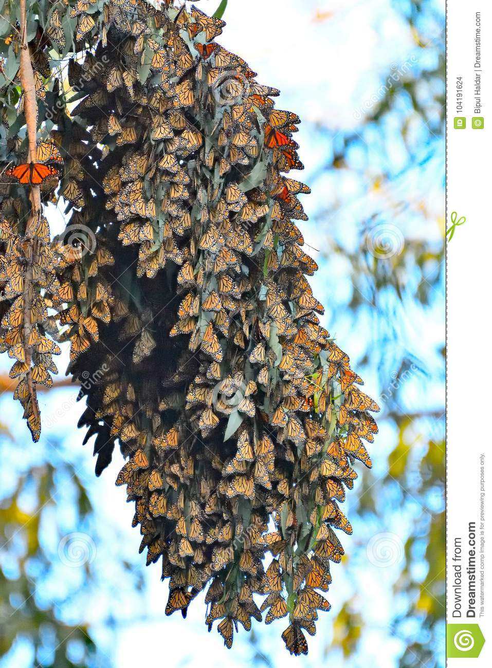 Monarch Butterfly A Long Cluster and colorful wings