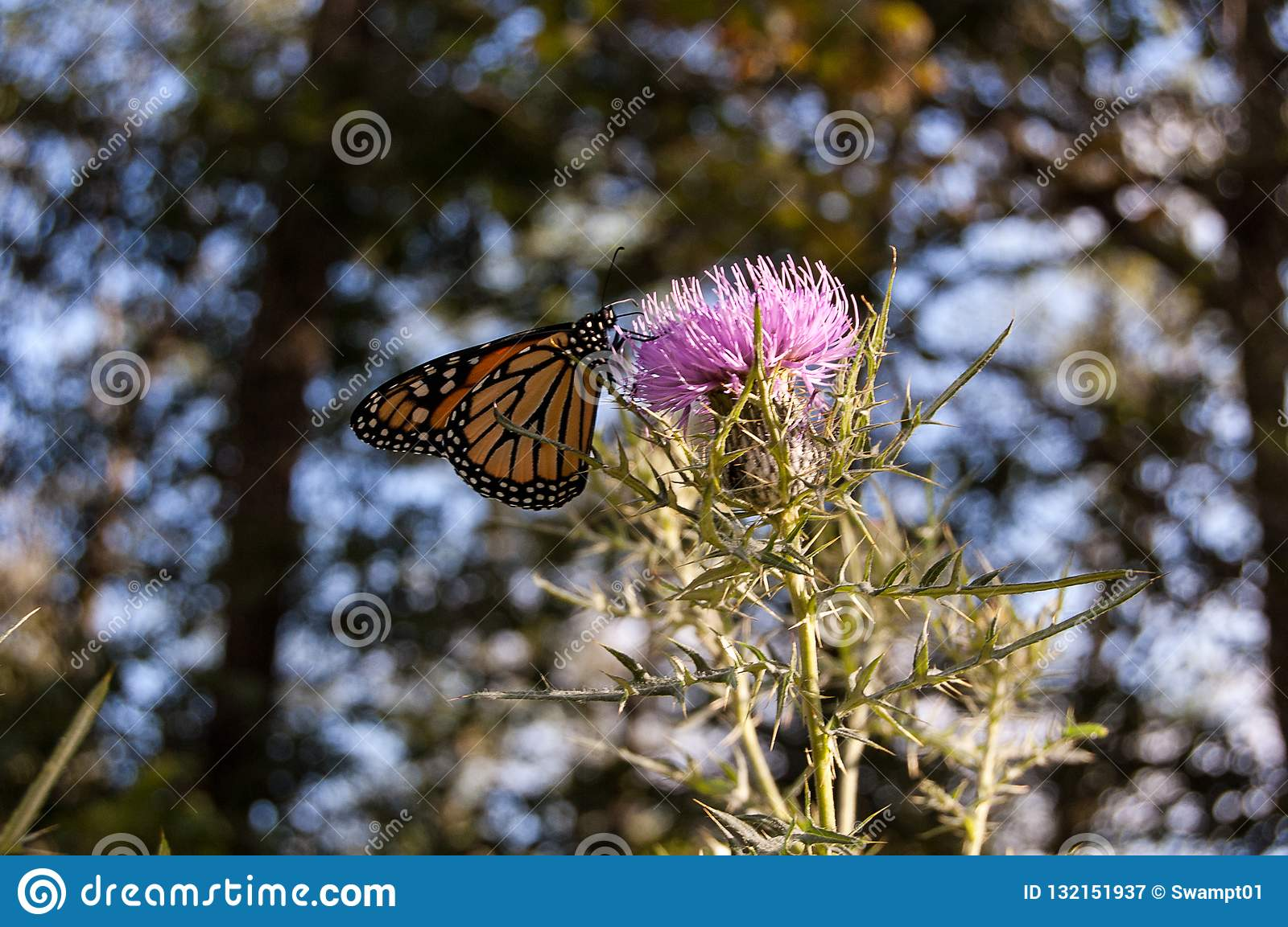 Monarch Butterfly in the Blue Ridge Mountains
