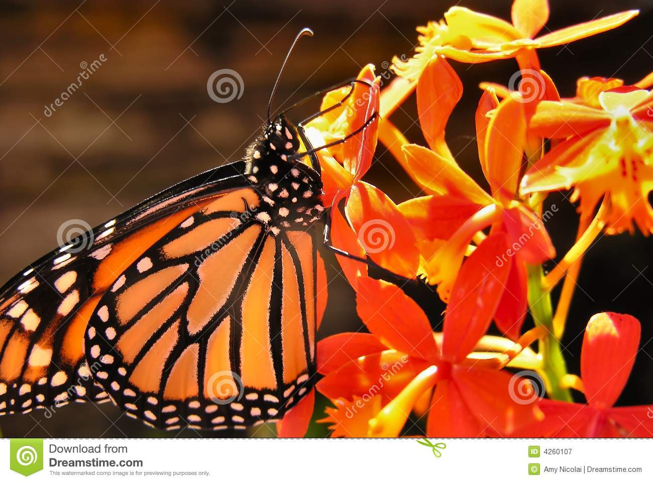 Monarch butterfly on orchid