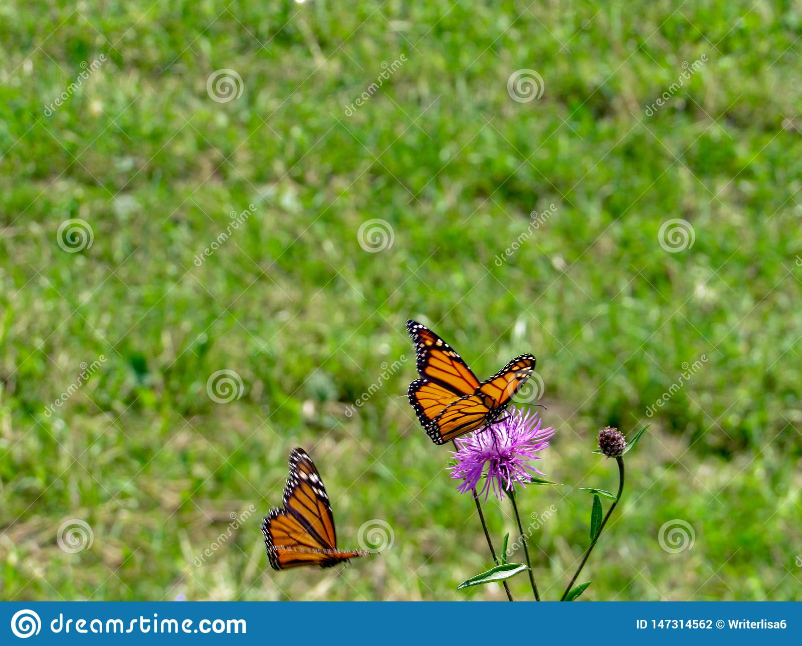 Monarch Butterfly perched on a purple flower