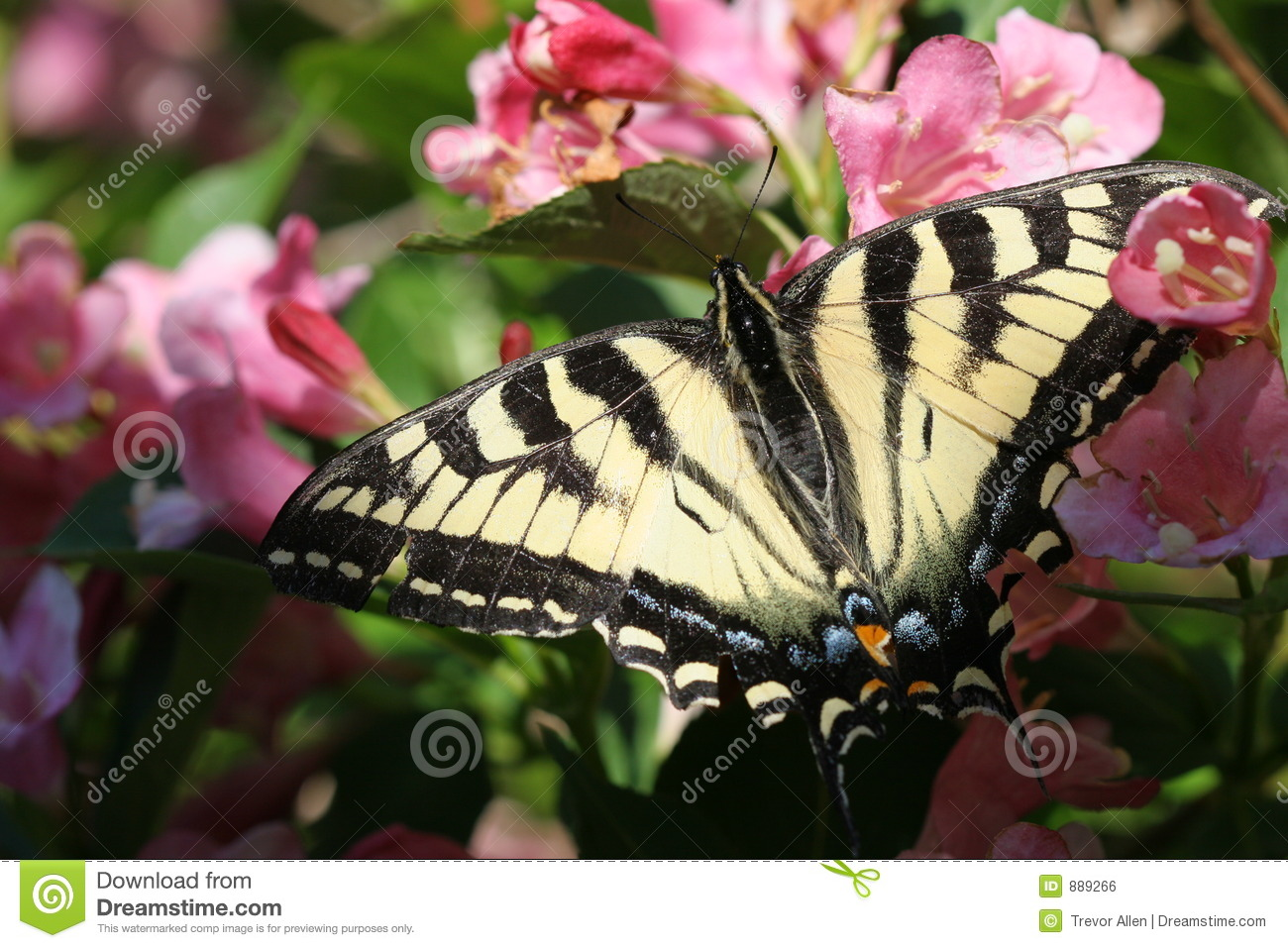 Monarch Butterfly On Pink Flowers Stock Photo