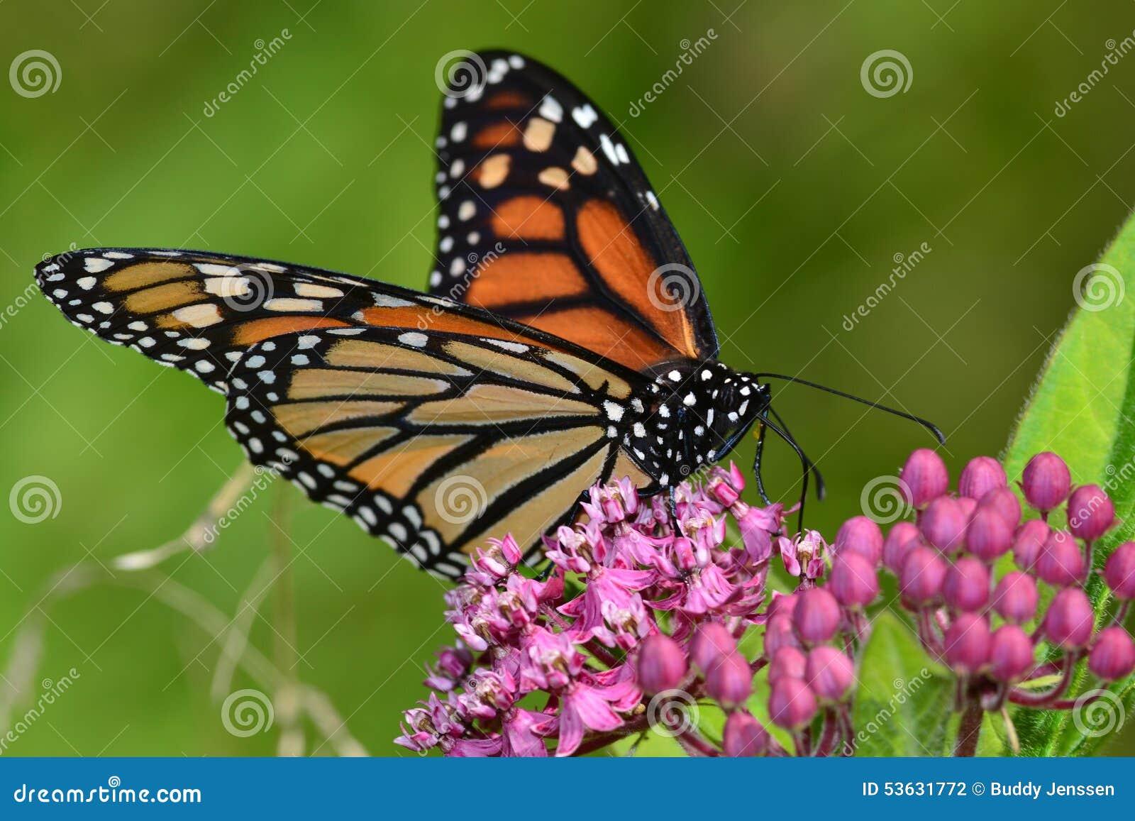 Monarch Butterfly On Pink Kolanchoe Stock Photo