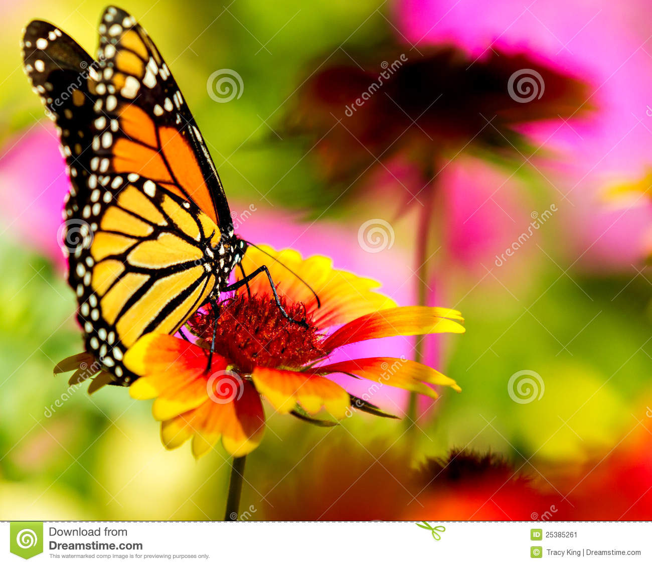 Monarch butterfly on a pretty flower stock image image of monarch butterfly on a pretty flower stock image image of background bright 25385261 mightylinksfo