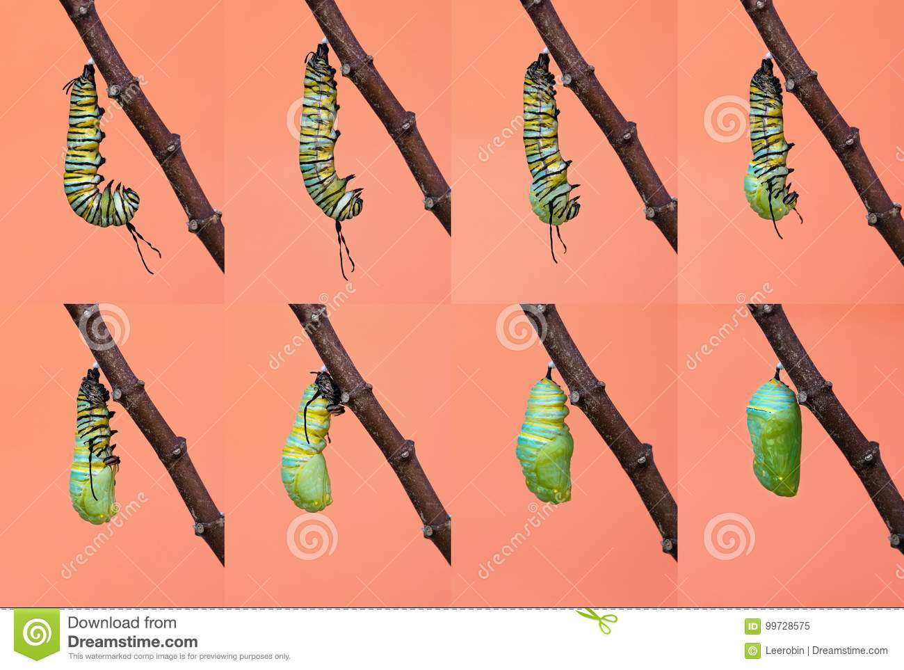 Monarch butterfly metamorphosis from caterpillar to chrysalis