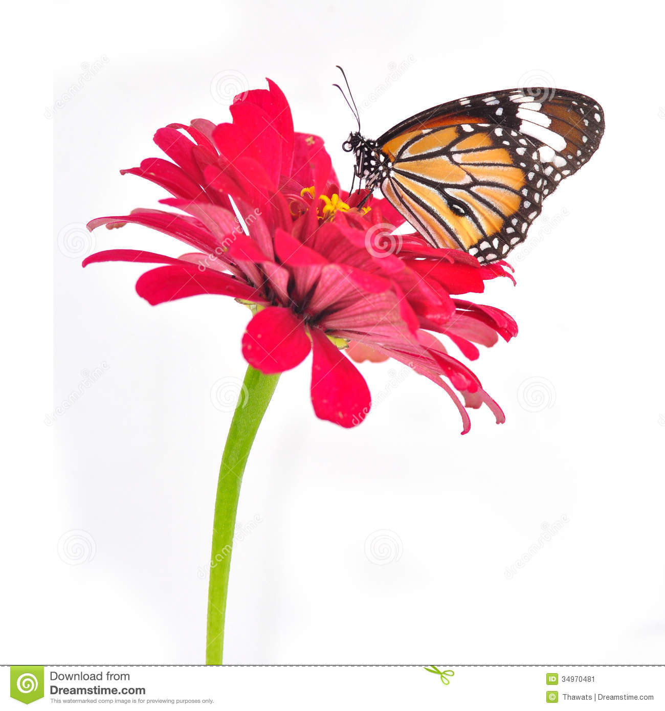 Monarch Butterfly Stock Image. Image Of Butterfly, Natural