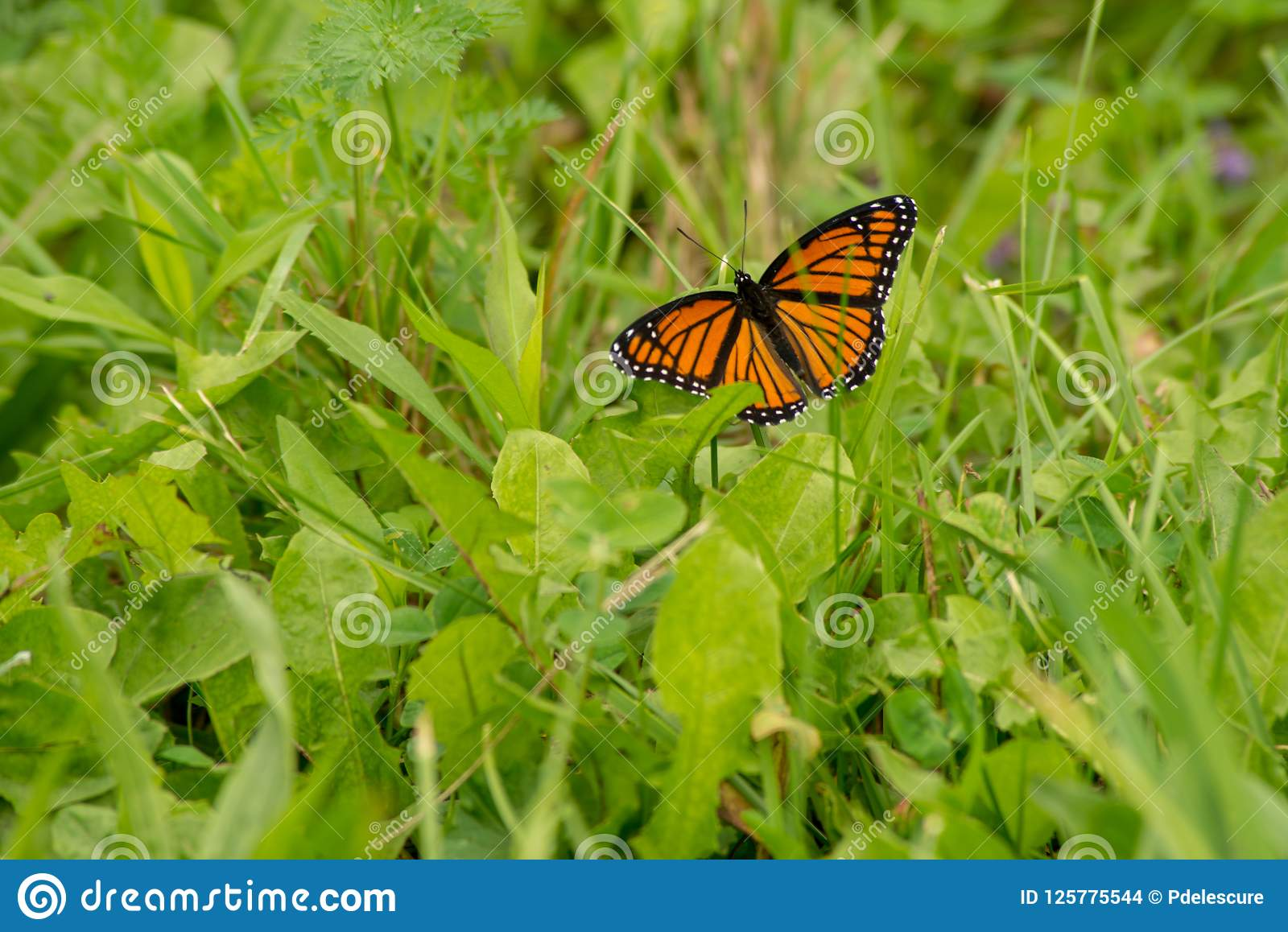 Monarch butterfly resting on blade of grass in the sun