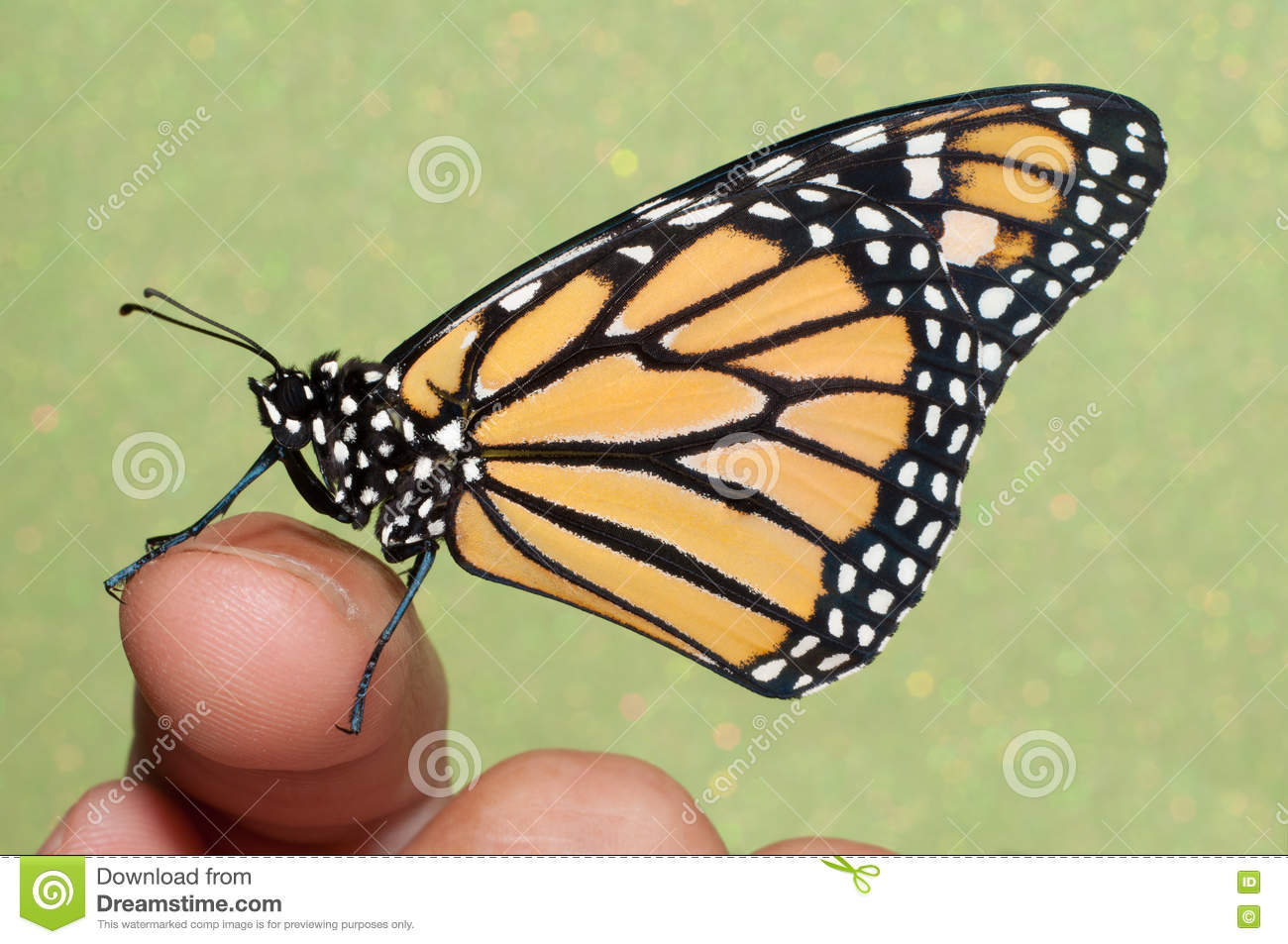 b5ea3f0f2 Monarch Butterfly Resting On A Finger Stock Photo - Image of ...