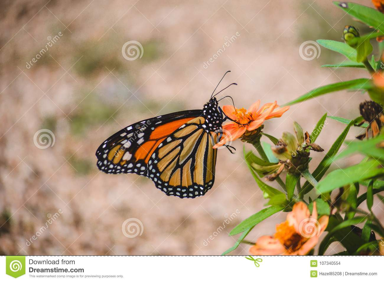 Monarch Butterfly On Orange Colored Flower Stock Photo