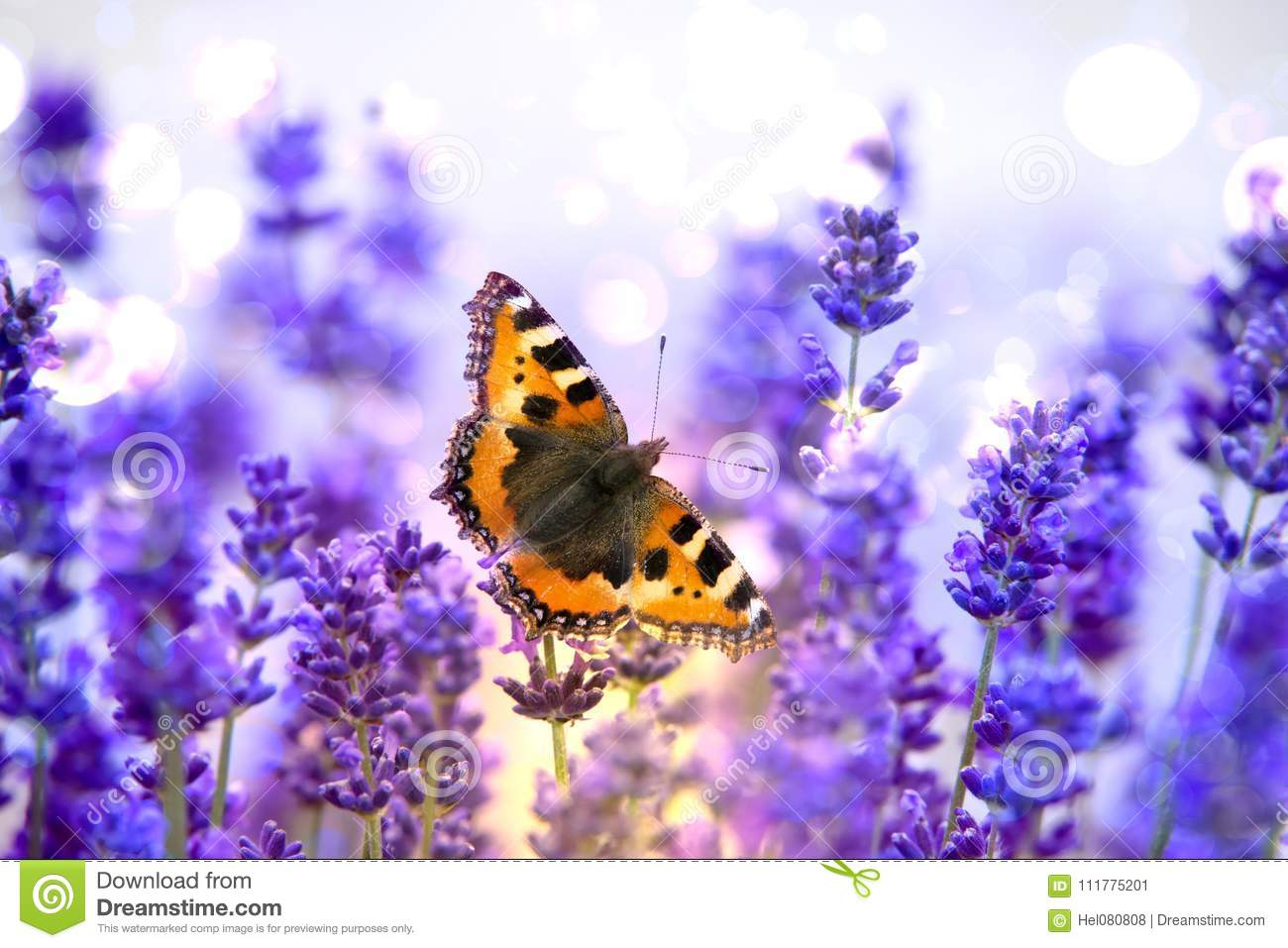 Monarch butterfly sitting on violet lavender