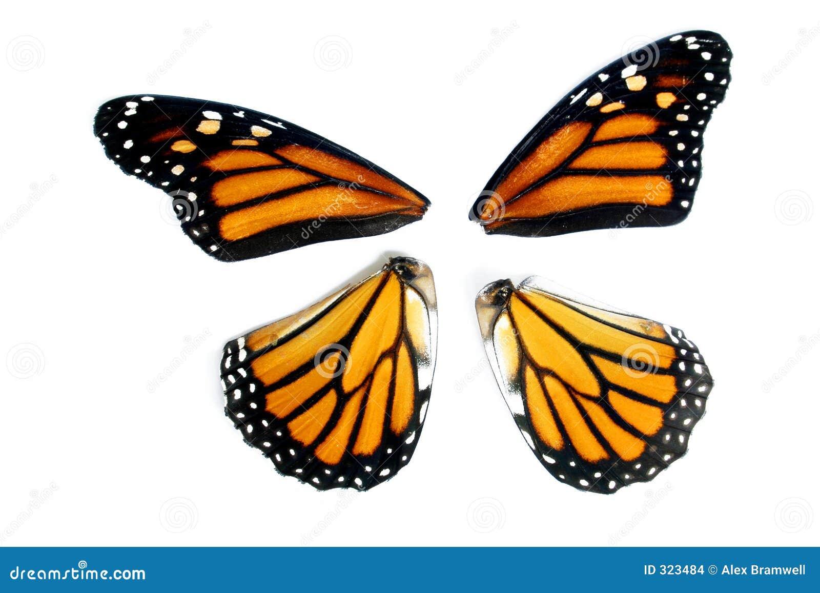 Monarch butterfly wings - photo#2