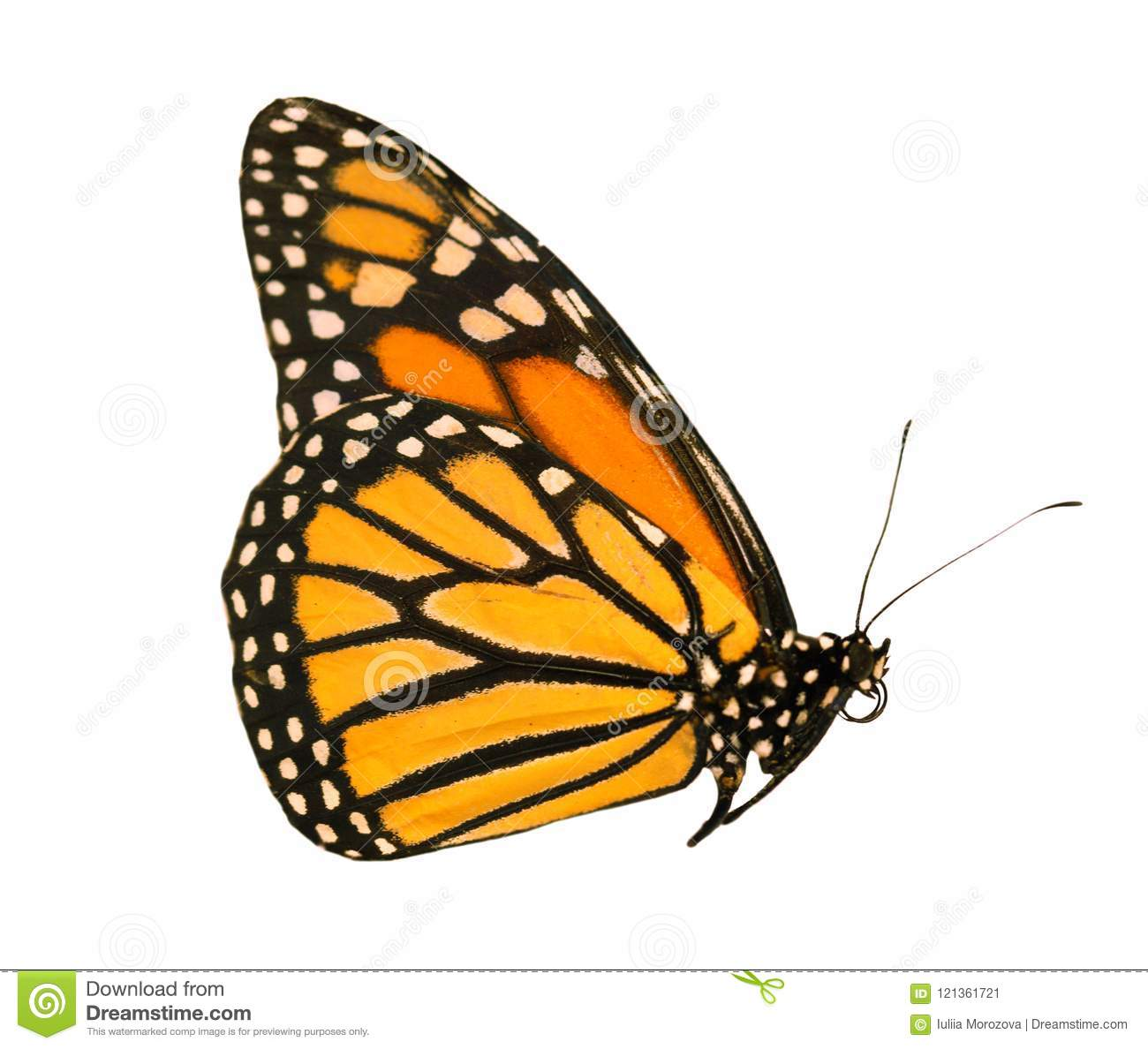 The monarch butterfly with wings closed is isolated on white background