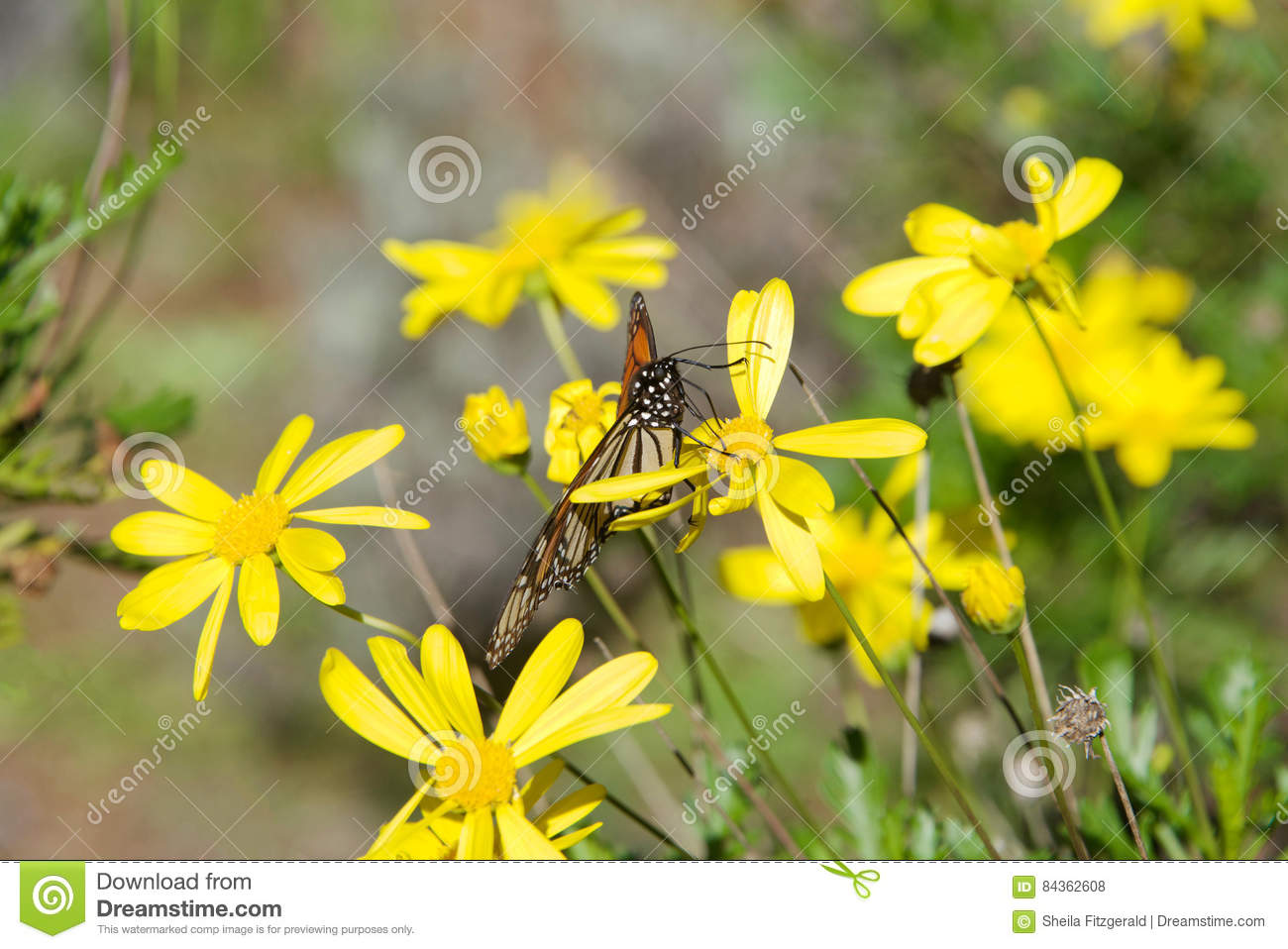 Monarch Butterfly On Yellow Daisies Stock Photo Image Of Insect
