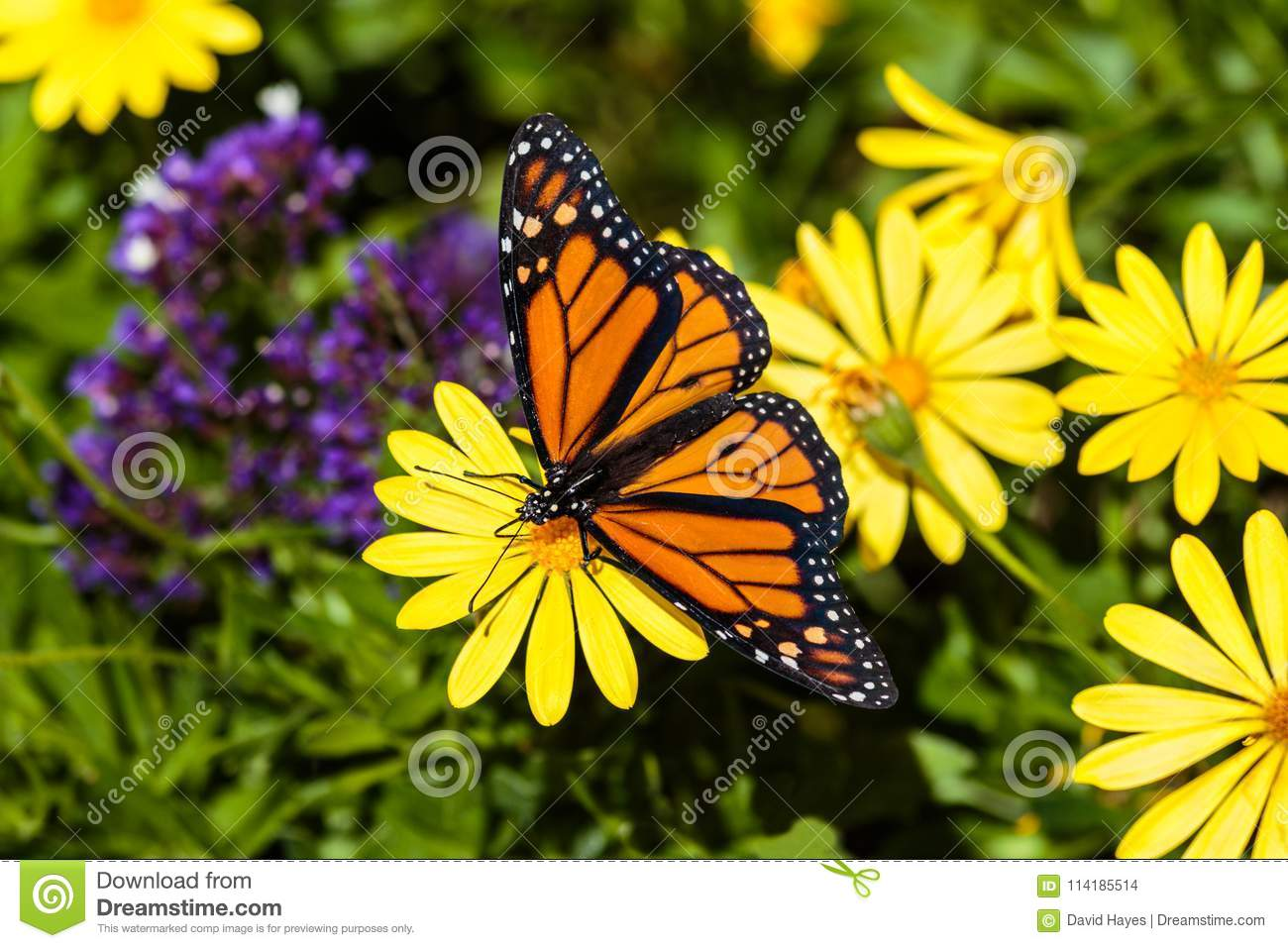 Monarch Butterfly On Yellow Flower Background Of Yellow And Purple
