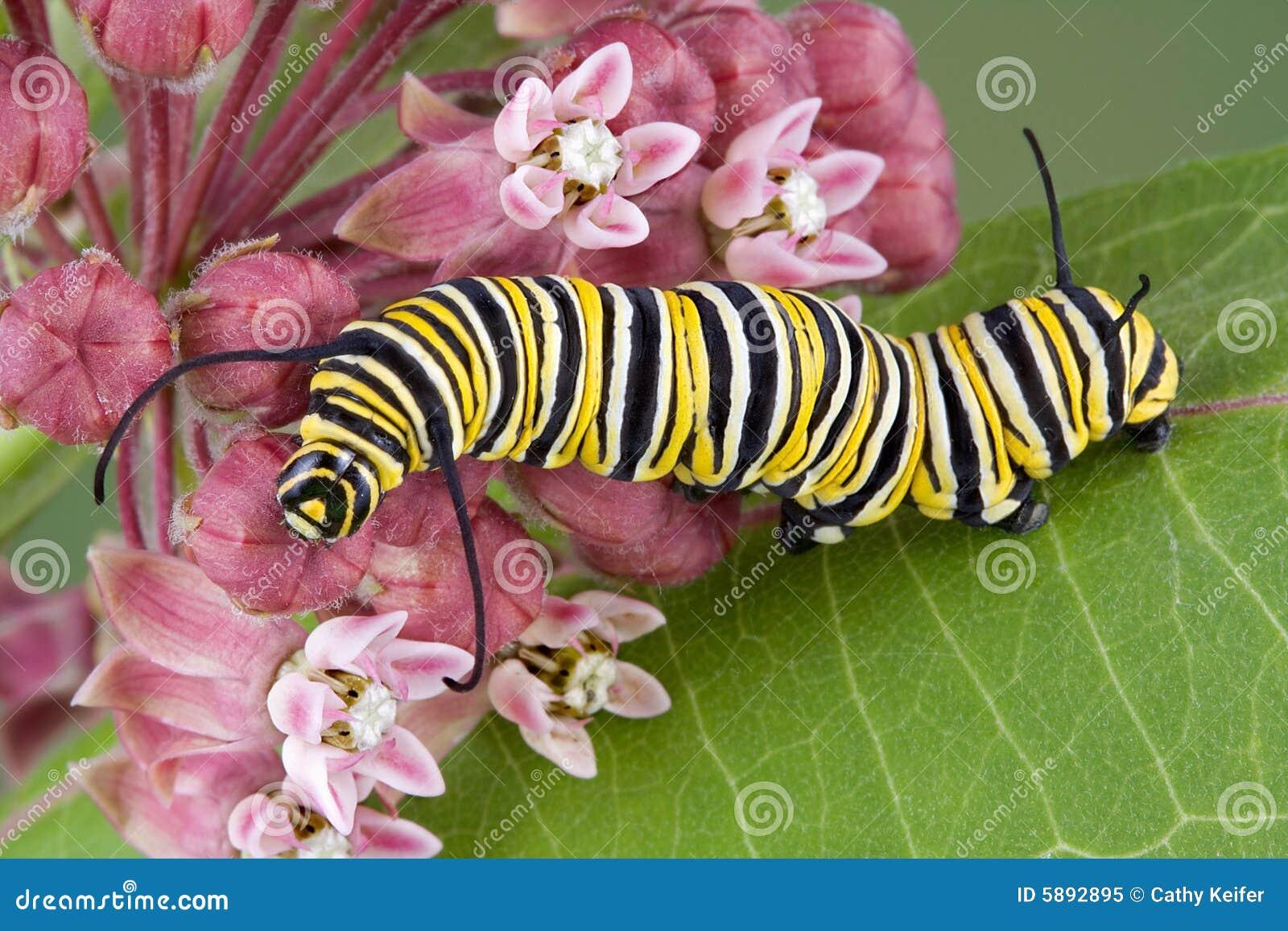 Monarch caterpillar on milkweed c