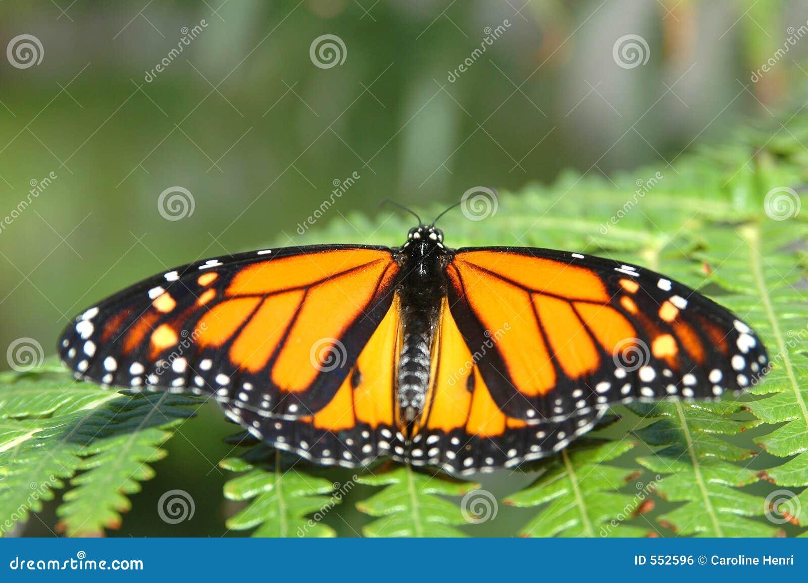 Monarch on a fern