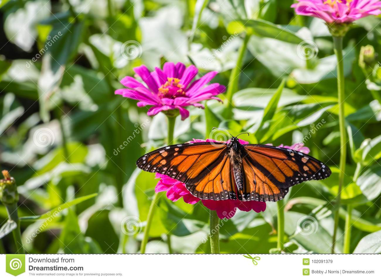 Monarch Butterfly On A Pink Flower Stock Image