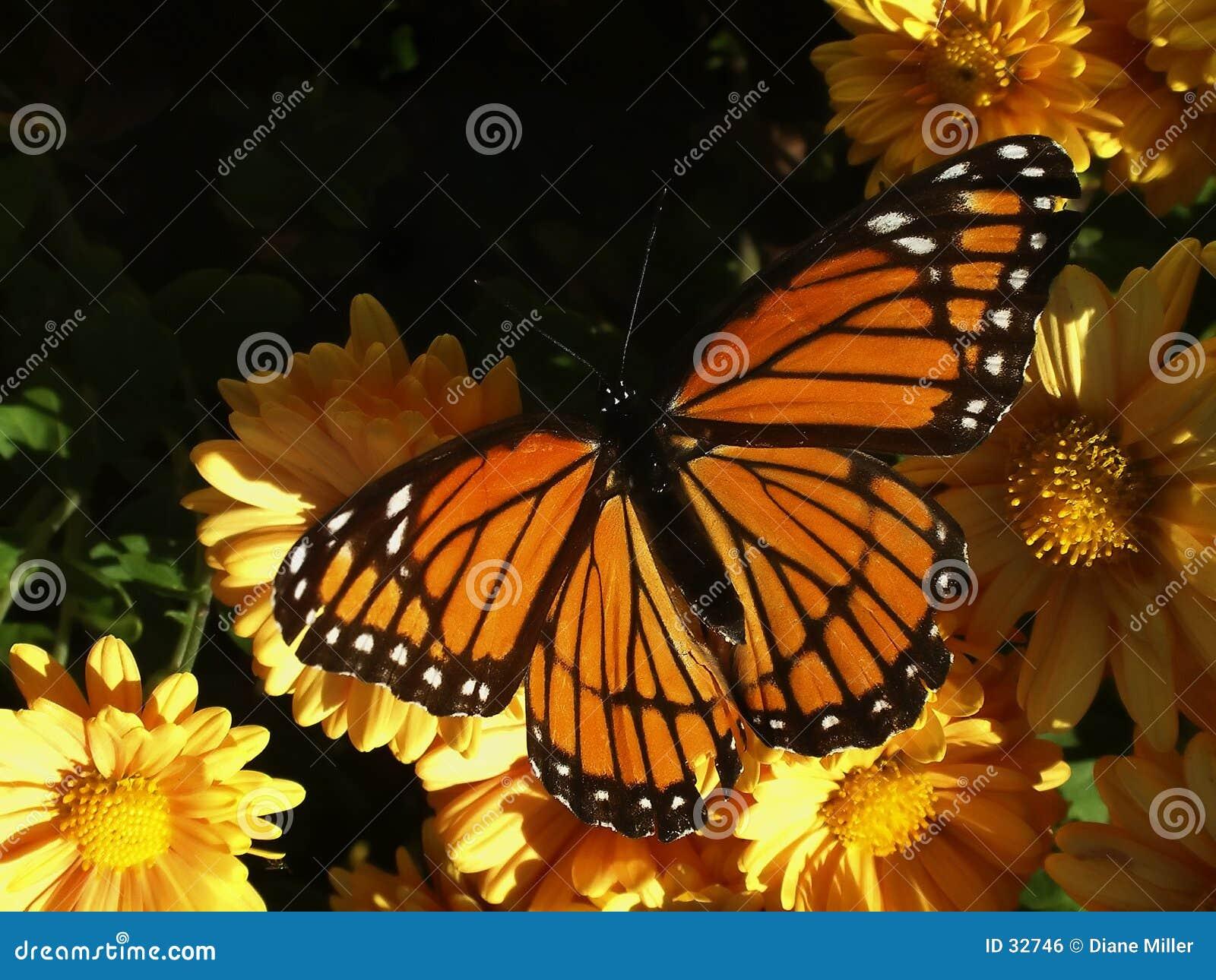 Monarch op mums