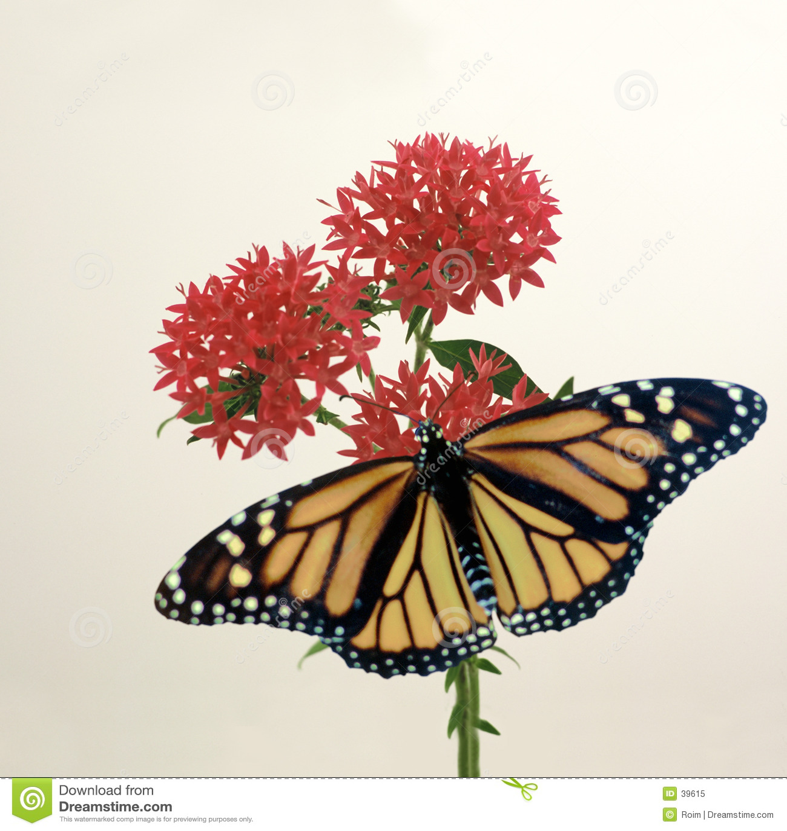 Monarch op Penta