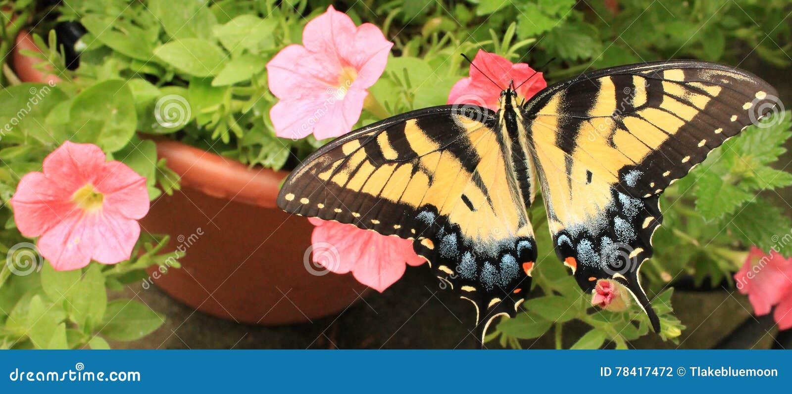Monarch R side