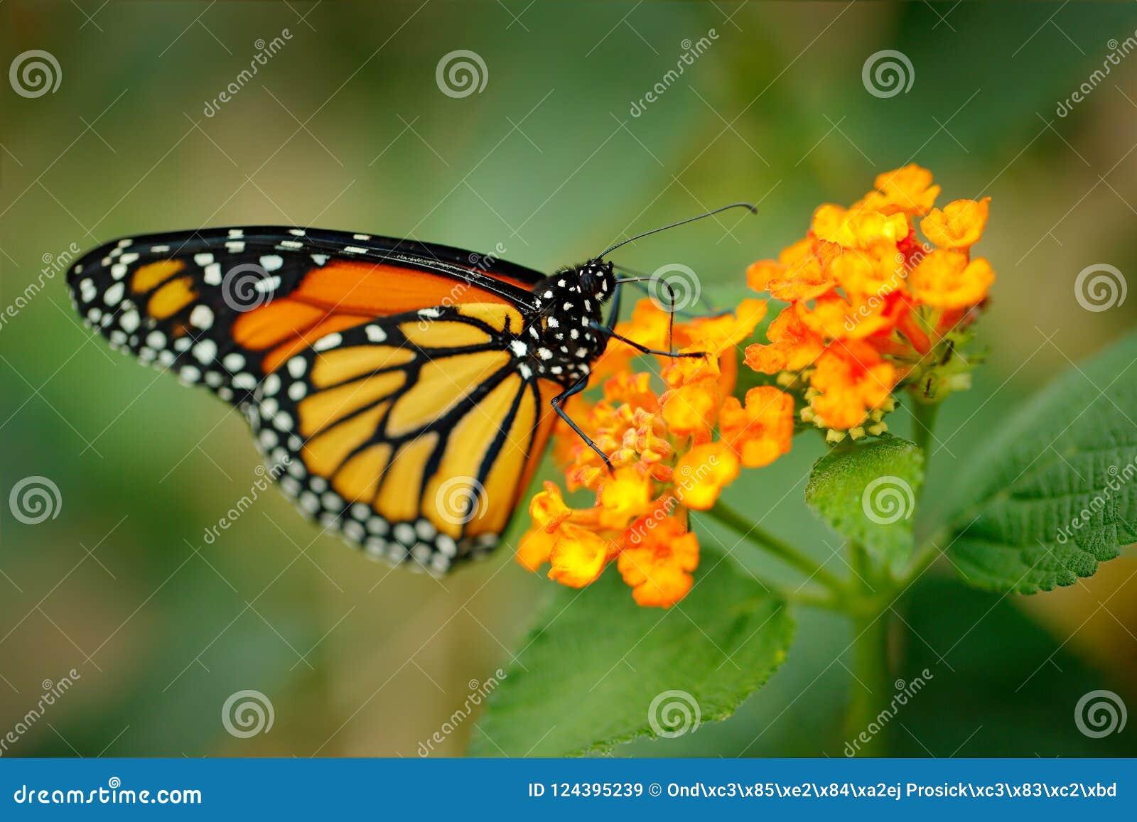 Monarcha, Danaus plexippus, motyl w natury siedlisku Ładny insekt od Meksyk Motyl w zielonym lasowym szczegółu zakończeniu po