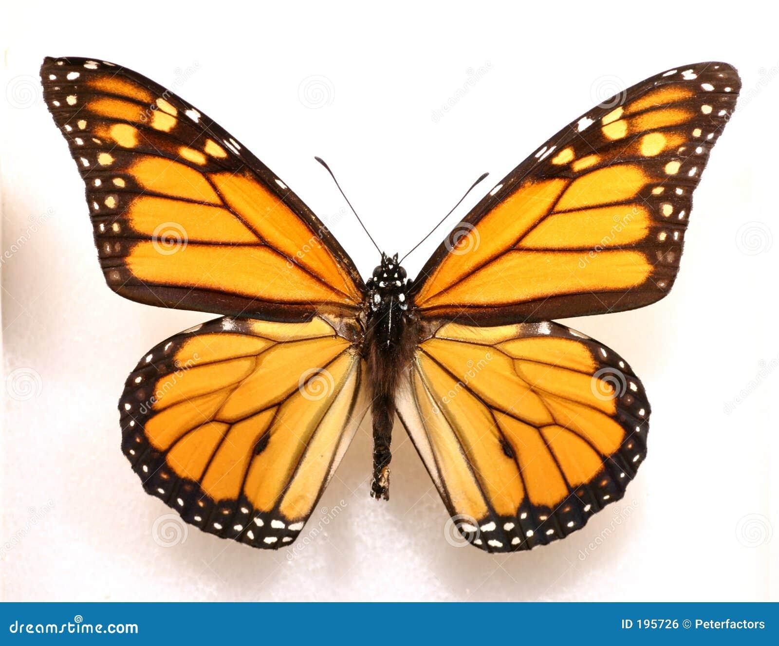 Monarcha motyla
