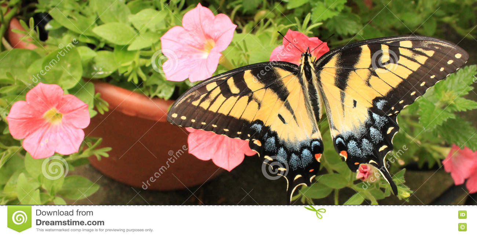 Monarcha R strona