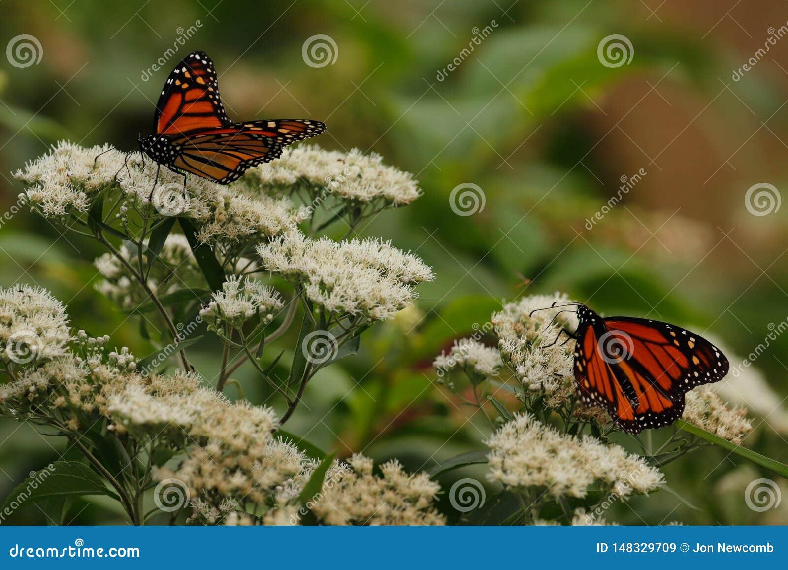 Monarchfalter auf wei?en wilden Blumen Ende des Sommers