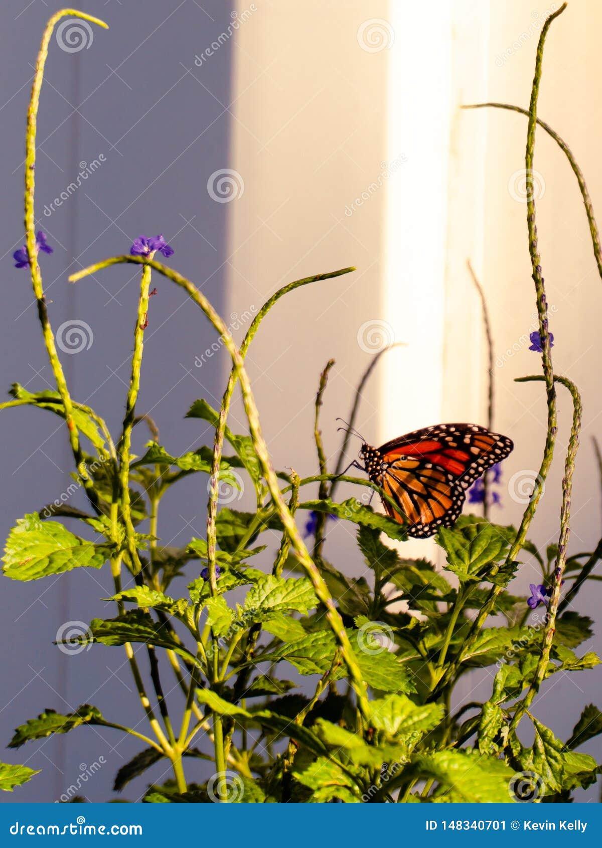 Monarchfalter im Hinterhofschmetterlingsgarten