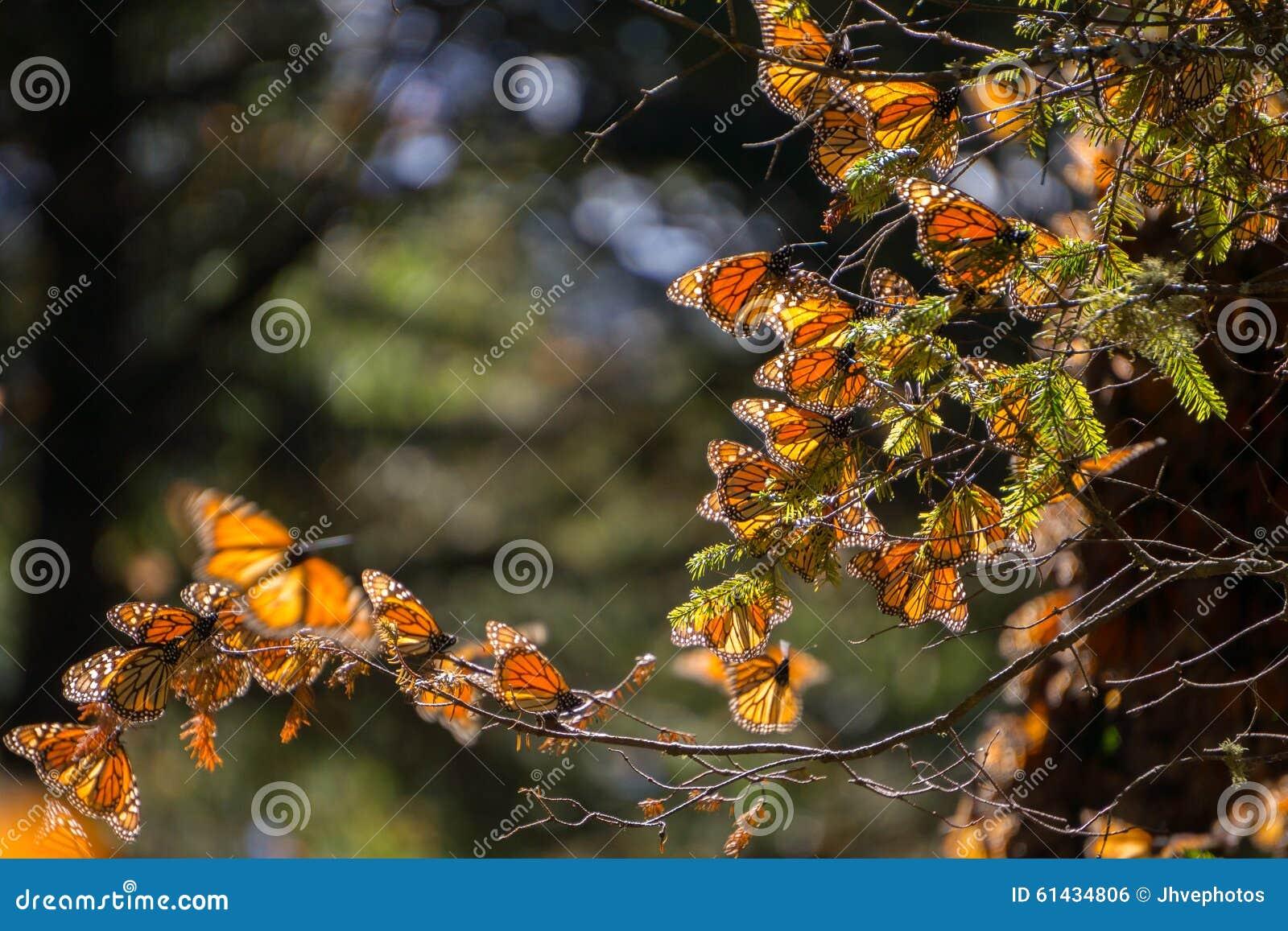 Monarchiczni motyle na gałąź