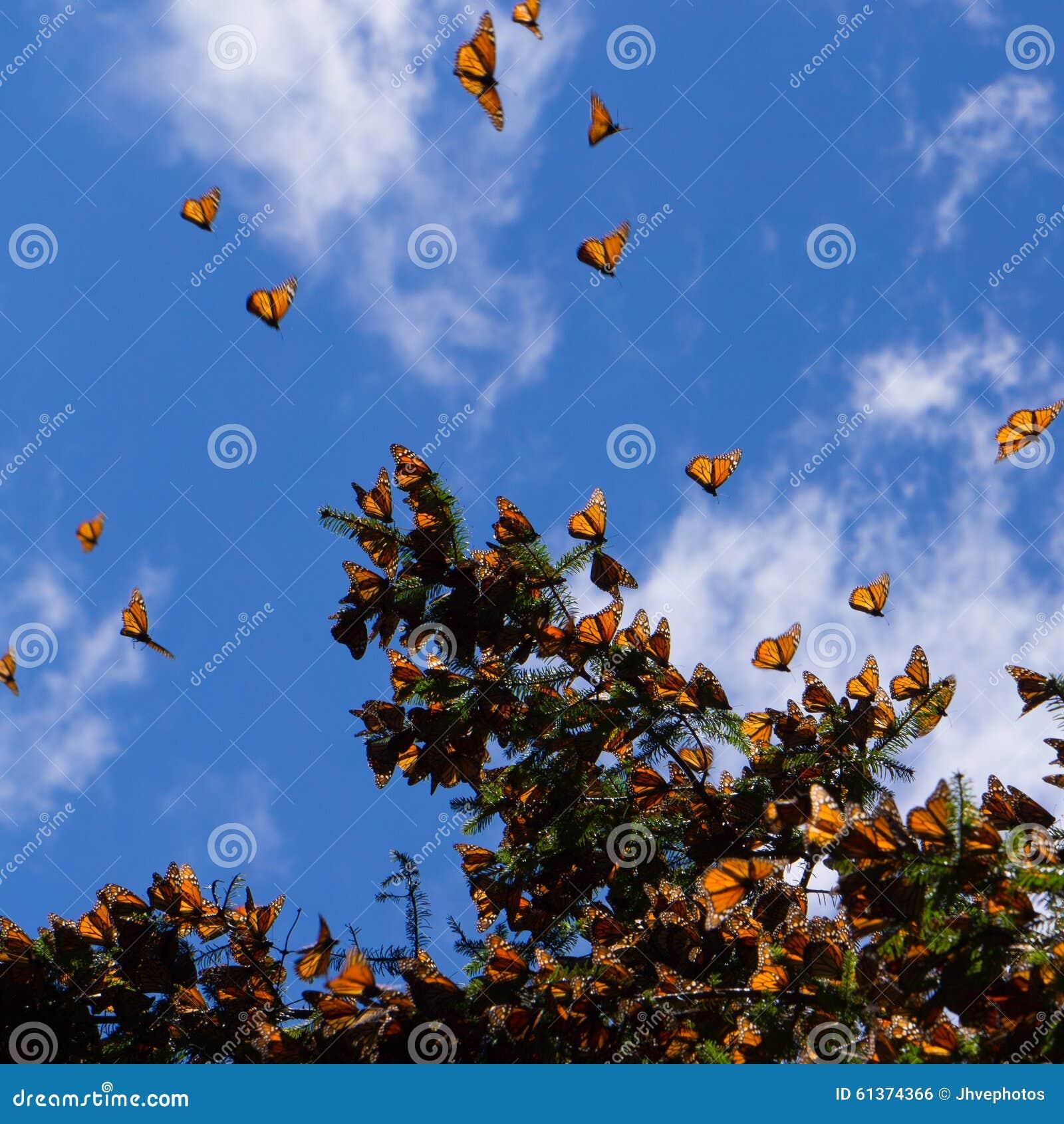 Monarchiczni motyle na gałąź w niebieskiego nieba tle