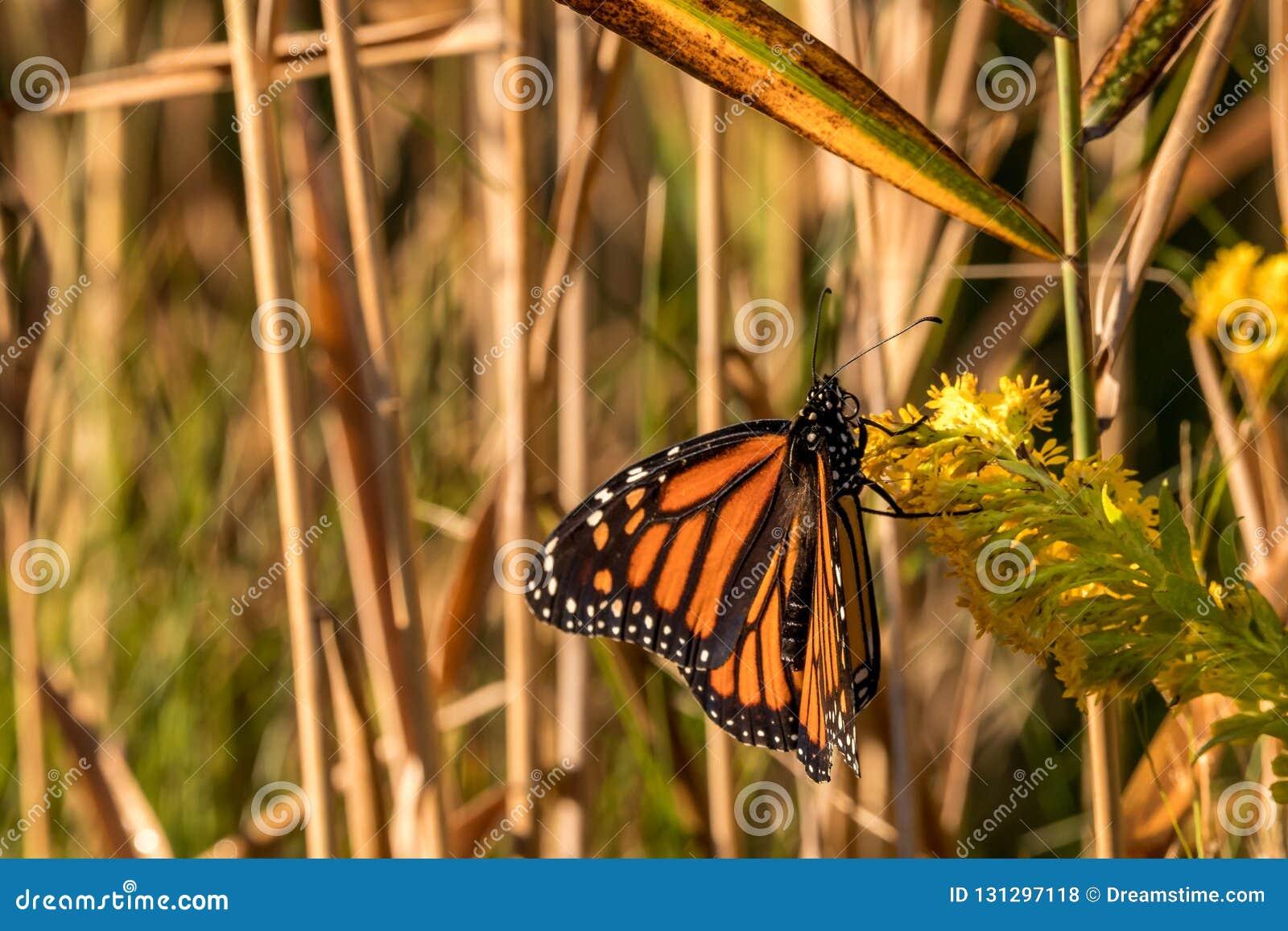 Monarchiczny królewiątko motyle